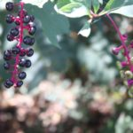 pokeweed-plant-poisonous-makingtoday-com-9749