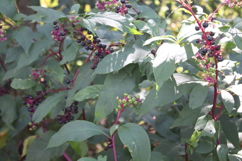 pokeweed-plant-poisonous-makingtoday-com-9751