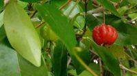 eugenia-uniflora-0509191136a-makingtoday-com-edible-plant-florida
