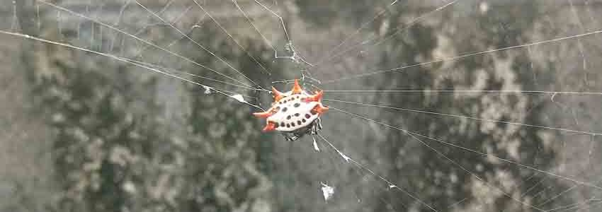 spiny-orb-weaver-spider-florida-0226191311c-makingtoday-com
