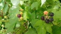 wild-blackberries-north-carolina-makingtoday-com