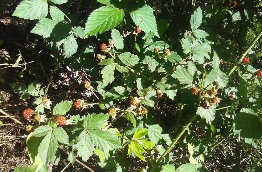making-today-com-wild-blackberry-bush-0618161537c